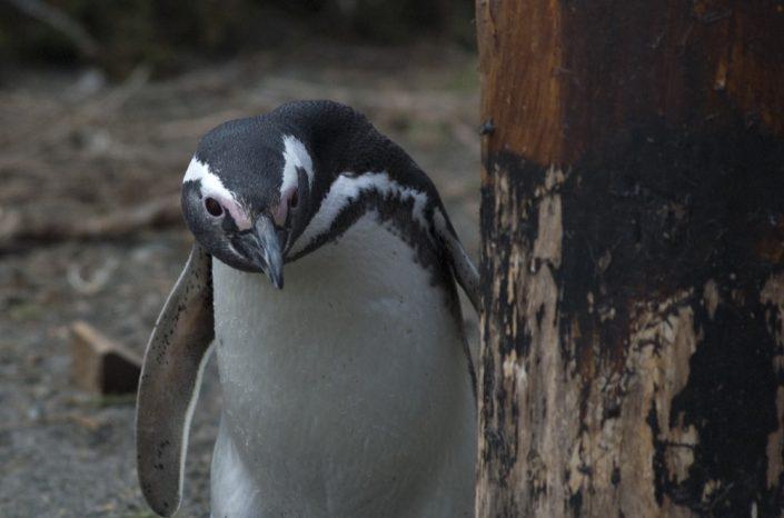 Sud America. Pinguino sullo stretto di Magellano, Argentina